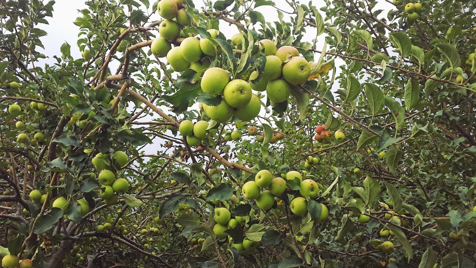 Kelebihan Wisata Petik Apel di Batu Malang